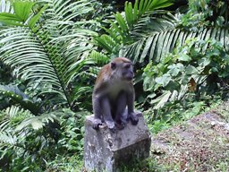 Cheeky monkey on the road down to Lake Maninjau